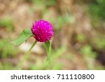 gomphrena globosa flower in... | Shutterstock . vector #711110800