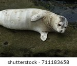 White Harbor Seal At Point...