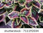 Colorful Leaf  Coleus Leaf ...