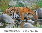 bengal tiger drinking water at... | Shutterstock . vector #711276316
