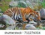 Bengal Tiger Drinking Water At...
