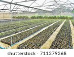 organic vegetables growing in...   Shutterstock . vector #711279268