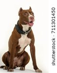 Stock photo american staffordshire terrier years in front of a white background 711301450