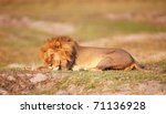 Lion  Panthera Leo  With Many...