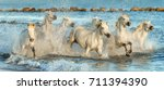 white camargue horses galloping ... | Shutterstock . vector #711394390