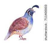 quail watercolor illustration ... | Shutterstock . vector #711400003