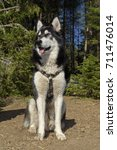 Small photo of Alaskan Malamute Pose Camping Pine Forest Selective focus