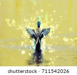 Mallard Duck   Anas...