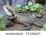 eastern water dragon   at... | Shutterstock . vector #71154637