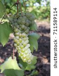grapes | Shutterstock . vector #711589114