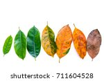 Small photo of Leaves of different age of jack fruit tree on white wooden background. Ageing and seasonal concept colorful leaves with flat lay and copy space.