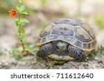 Cute Spur Thighed Tortoise  Or...