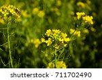 field of yellow flowering... | Shutterstock . vector #711702490