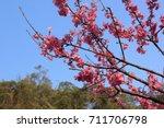 cerasus serrulata blossom in... | Shutterstock . vector #711706798