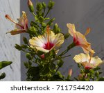 showy yellow suffused with pink ...   Shutterstock . vector #711754420