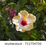 showy yellow suffused with pink ...   Shutterstock . vector #711754720