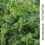 Small photo of Home Grown Peas 'Hurst Green Shaft' (Pisum sativum) on an Allotment in an Organic Garden in Rural Devon, England, UK