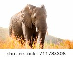 African Elephant Standing...