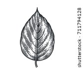 Engraving Poplar Leaf Isolated...