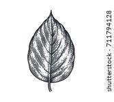 engraving poplar leaf isolated... | Shutterstock .eps vector #711794128