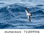 Small photo of A White-faced Storm Petrel or White-faced Petrel in flight over the sea near Madeira island, North Atlantic ocean.