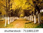 ginkgo trees in autumn | Shutterstock . vector #711881239