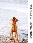 a yellow labrador puppy... | Shutterstock . vector #711940156