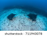 Small photo of A pair of Spotted eagle rays (Aetobatus narinari) cruise over the deep seafloor near Cocos Island off the Pacific coast of Costa Rica.