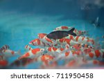 Small photo of Fancy carp fishes in the fish tank are available in red, white and black ,On blue tone vintage background images.