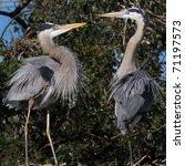 mating pair of blue herons... | Shutterstock . vector #71197573