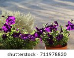 Potted Bright Purple Petunias...