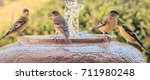 yellow breasted birds come to... | Shutterstock . vector #711980248