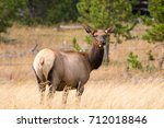 A female elk looking up at a nearby sound while grazing on the grasslands of Yellowstone National Park.
