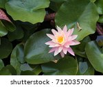Lotus Flower With Lily Pads In...