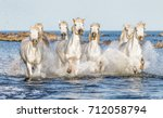 Stock photo white camargue horses galloping along the beach in parc regional de camargue provence france 712058794