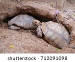 african spurred tortoise at... | Shutterstock . vector #712091098