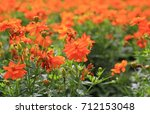close up orange cosmos flowers | Shutterstock . vector #712153048