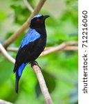 beautiful blue bird  a male... | Shutterstock . vector #712216060