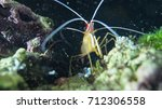 Small photo of shrimp lysmata