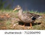 Duck Closeup Portrait Outside...