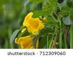 Small photo of allamanda neriifolia
