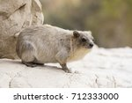 Cliff Badger  Rock Hyrax  Ein...
