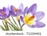 Crocus Tricolor In The Iris...