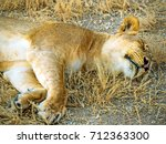 Lazy Lioness Relaxing After...
