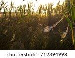 beautiful spider web in dew...   Shutterstock . vector #712394998