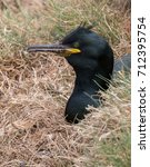 Small photo of Adult shag (Phalacrocorax aristotelis) sea bird