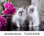 Stock photo ragdoll blue point little kitten 712415428