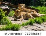 Lion Pride Rests After Hunting...