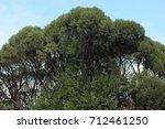 elm crown early in autumn   Shutterstock . vector #712461250