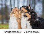 Group Of Rough Collie Dogs...